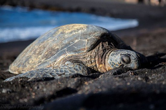 Pahala, HI: Bask in the sun with Green Turtles.