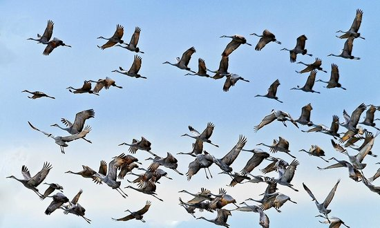 """Everglades Birding - Private Tours: A """"Fly-Over"""" of Skimmets"""