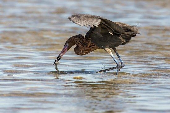 Everglades Birding - Private Tours: Reddish Egret nabs a snack!