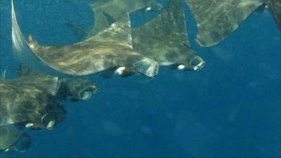 Diving Riviera Maya: Mantas at the Whaleshark Excursion!