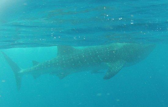 Diving Riviera Maya: Whaleshark Excursion