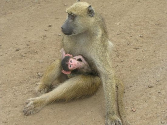 Victoria Falls (Mosi-oa-Tunya) National Park: Baby baboon with protective mother
