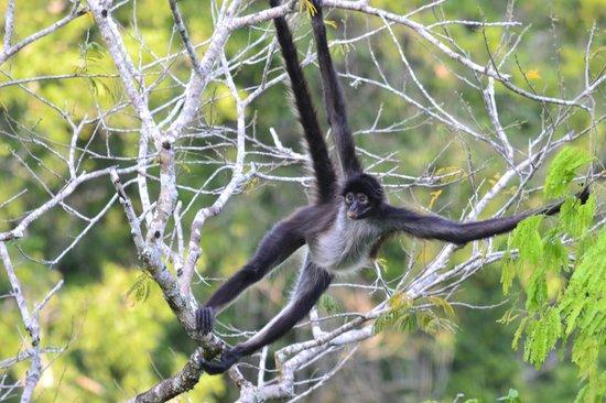 Gran Plaza: Spider Monkey
