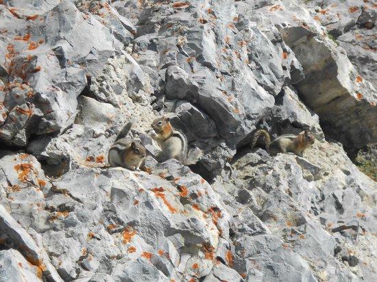 Banff Gondola: Chipmunks