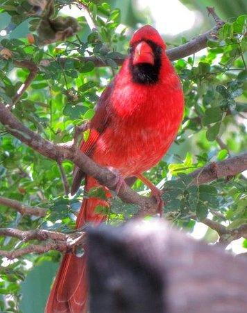Santa Ana National Wildlife Refuge: Northern Cardinal