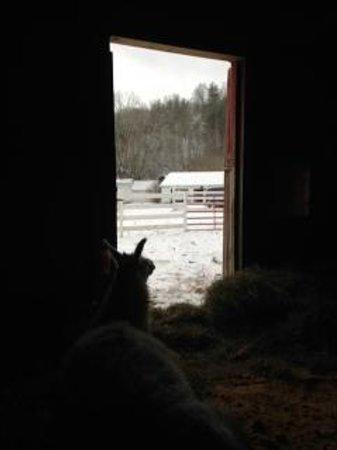 The Inn at Mountain Quest: Sweet llama Ella