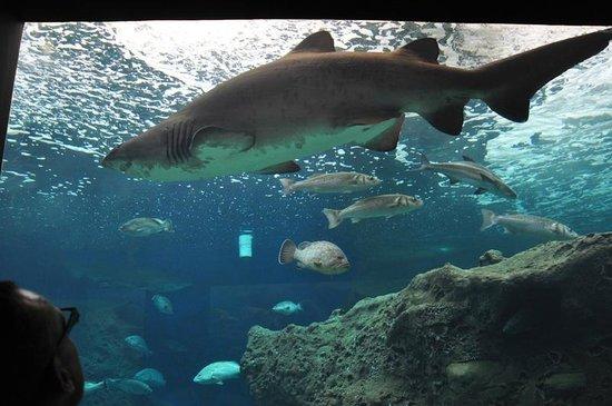 Cretaquarium Thalassocosmos : Акула в океанариуме Aquarium
