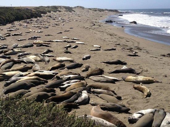 Elephant Seal Rookery : Лежбище морских слонов