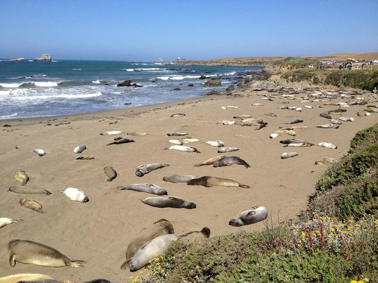 Elephant Seal Rookery : Морские слоны греются на берегу