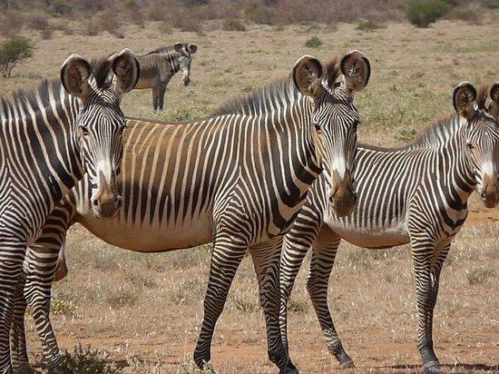 Sasaab Lodge : gravys zebra