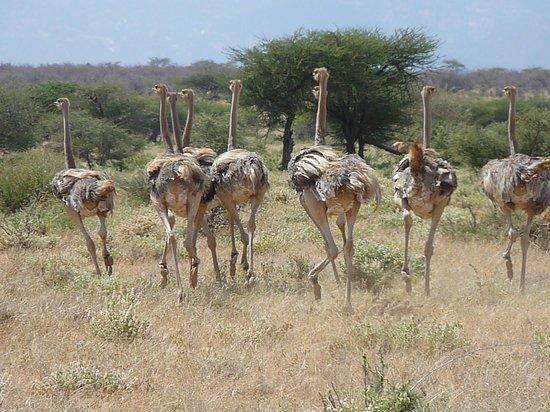 Sasaab Lodge : ostrich