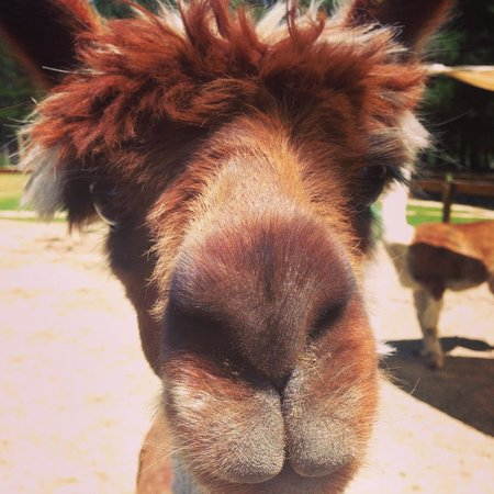 Wai ariki Farm Park, Cafe & Gallery: A friendly llama