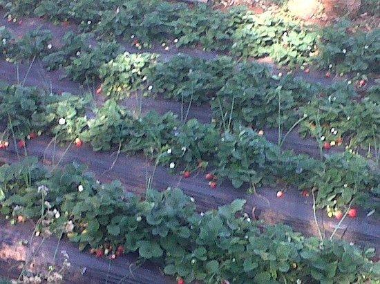 Valley View Resort : strawberry farming