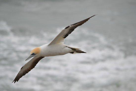 Muriwai Gannet Colony: Gannet aloft!