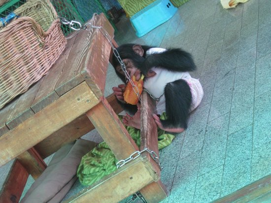 Samutprakan Crocodile Farm and Zoo : Monkey used to take pictures with tourist
