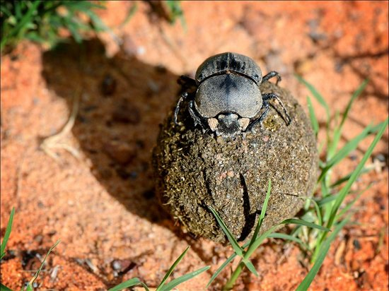 Marataba Safari Lodge: Dung Beetle