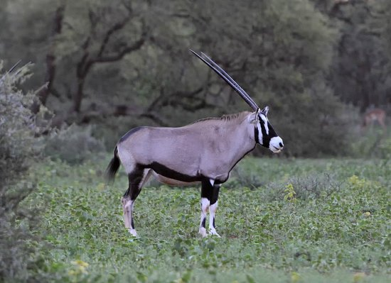 Marataba Safari Lodge: Oryx