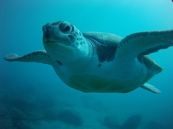 Centro de buceo Zero Gravity: One of the family of turtles which lives in the cove I visited with Zero Gravity