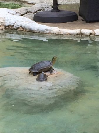 Grand Cayman Marriott Beach Resort: turtle ponds