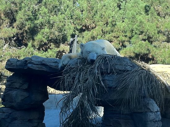 San Diego Zoo: Urso polar