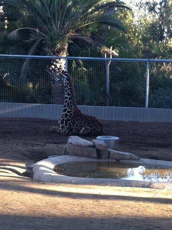San Diego Zoo: Girafa