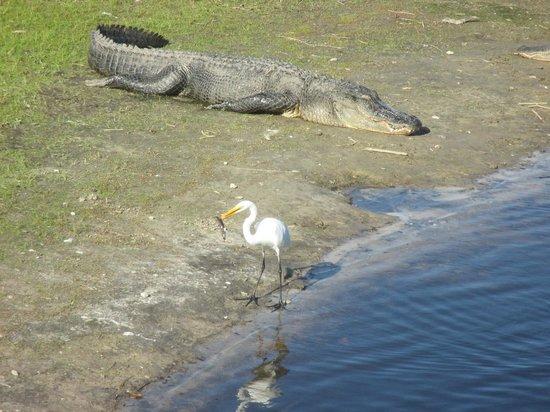 Myakka River State Park: Park critters