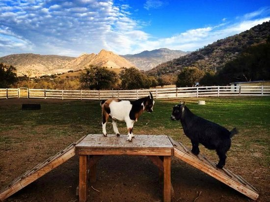 Lazy J Ranch-Americas Best Value Inn: goat ranch