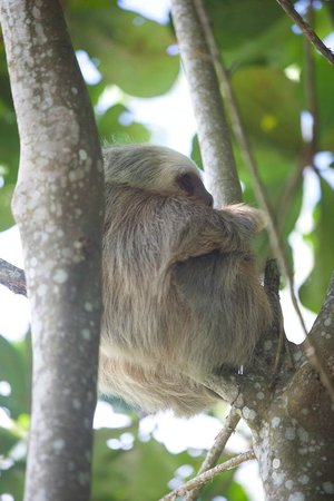 Caribe Town: This Sloth didn't move for 5 days
