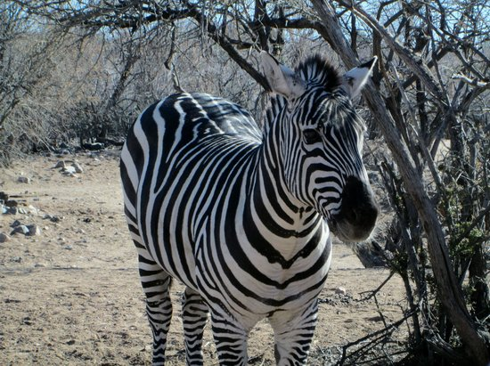 Out of Africa Wildlife Park: month old baby zebra