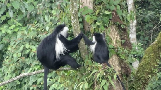 Nyungwe Forest Lodge: The Visiting Black and white colobus monkeys at lodge vicinity.