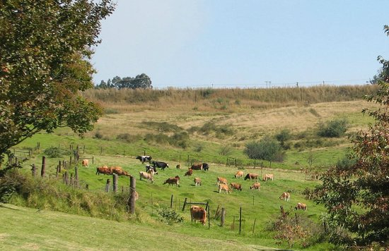 Ashtonvale Guest Farm: field of dairy cows