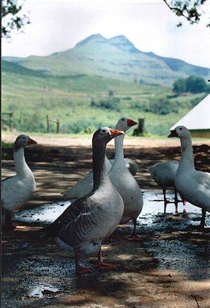 Ashtonvale Guest Farm: the gesse
