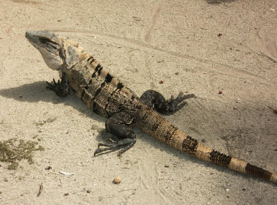 Oceanic Society Field Station: Iguanas are frequently seen around the station.