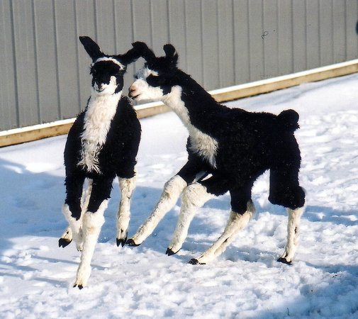 Dakota Ridge Farm: 2 crias playing in the snow!