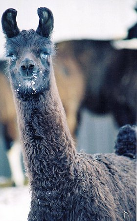 Dakota Ridge Farm: Baby llama in winter.