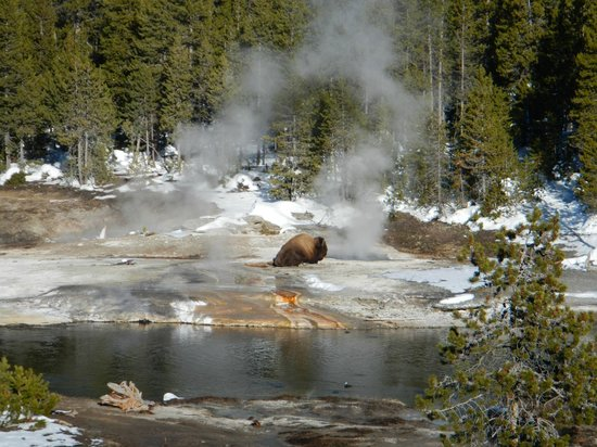 Old Faithful Snow Lodge and Cabins : Bison at nearby thermal, snowshoe walk from Lodge.