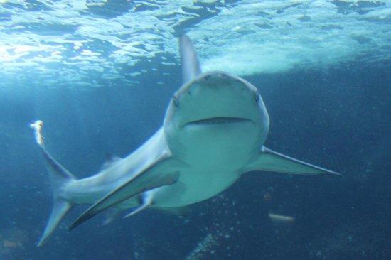 Aquarium de la Guadeloupe: tiburon en el acuario de Guadeloupe