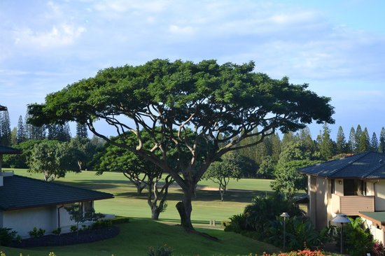 The Kapalua Villas, Maui: The tree from the patio
