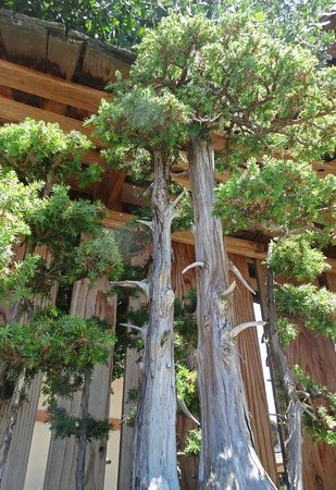 Hanford, Californie : Bonsai Trees at the Clark Center for Japanese Art & Culture