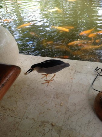 Grand Hyatt Bali: Heron with bread bait