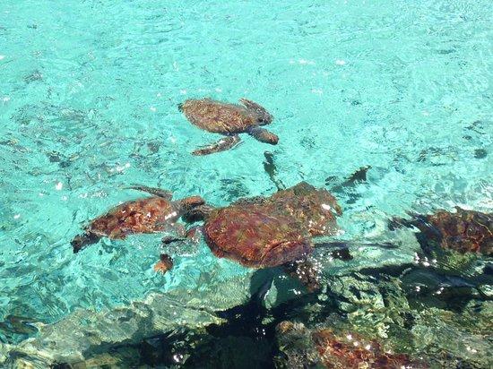 Le Meridien Bora Bora: Turtles