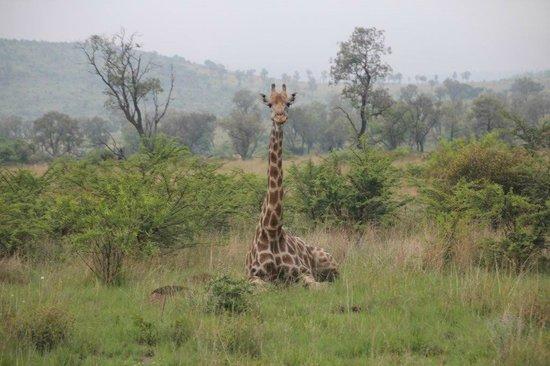 Tambuti Lodge : Giraffe relaxing one morning in the grass