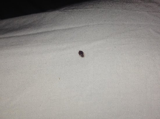 Footprints Rooms: An adult bedbug we found on our pillowcase within hours of checking in.