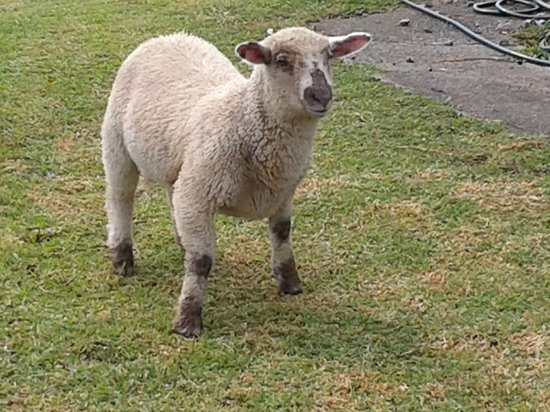 North Shore, New Zealand: one of the lambs