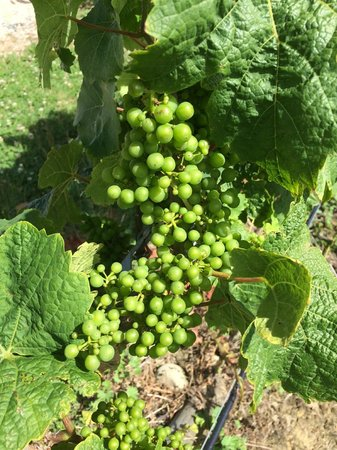 Pine Hill Lodge : Grapes from the vineyard