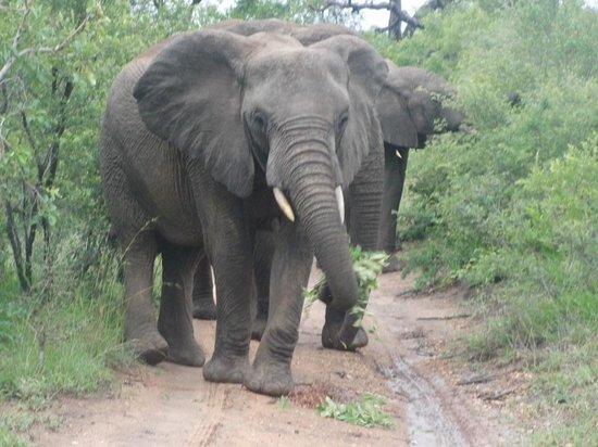Chapungu Tented Bush Camp: Elephants on the Road