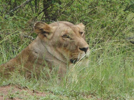 Chapungu Luxury Tented Camp: Lions by the side of the road