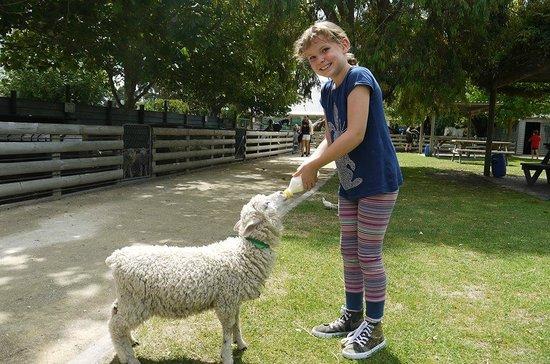 Hawkes Bay Farmyard Zoo : Feeding the lamb it's bottle