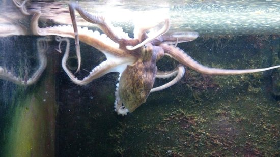 University of Georgia's Marine Education Center and Aquarium: Octopus