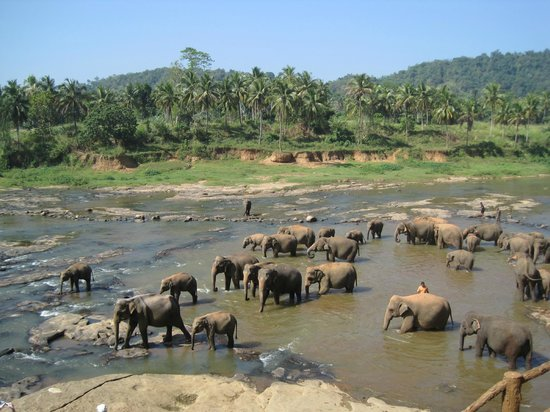 Pinnawala Elephant Orphanage : river bathing elephants Pinnawala